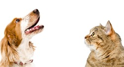 Portrait of a cat Scottish Straight and dog Russian spaniel looking up, closeup, isolated on white background