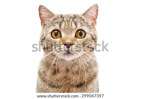 portrait of a cat scottish...