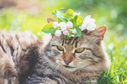 Portrait of a cat with apple flowers on the head. The cat walks in a garden in spring