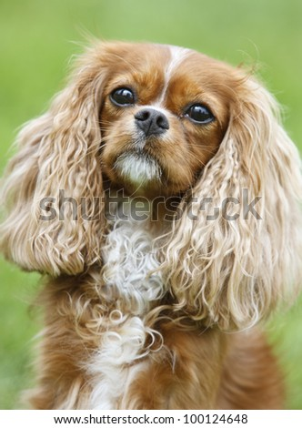Portrait of a  Cavalier King Charles Spaniel