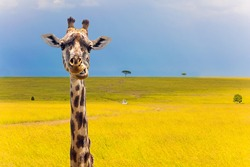 Portrait of a cheerful giraffe. Jeep Safari Masai Mara, Kenya. The concept of active and photo tourism. Long-necked giraffe with beautiful spotted skin and small horns in the African savannah