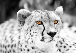Portrait of a Cheetah a highkey image, Masai Mara