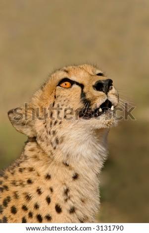 Portrait of a cheetah (Acinonyx jubatis), South Africa