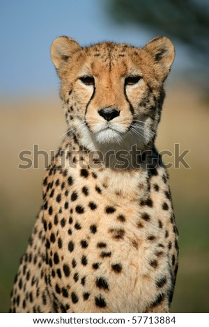 Portrait of a cheetah (Acinonyx jubatus) sitting upright, South Africa