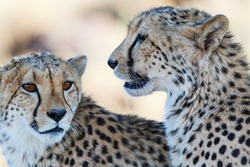 Portrait of a cheetah in a Game Reserve in the Karoo in South Africa