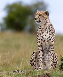 Portrait of a cheetah in Masai Mara, Kenya