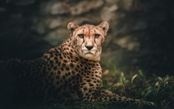 Portrait of a Cheetah in Savannah close