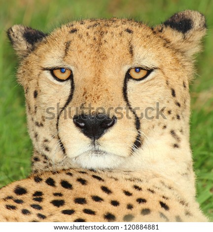 Portrait of a Cheetah in the nature
