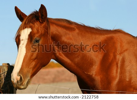 Portrait of a chestnut thoroughbred horse