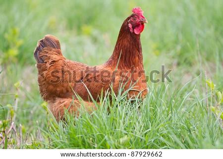 Portrait of a chicken