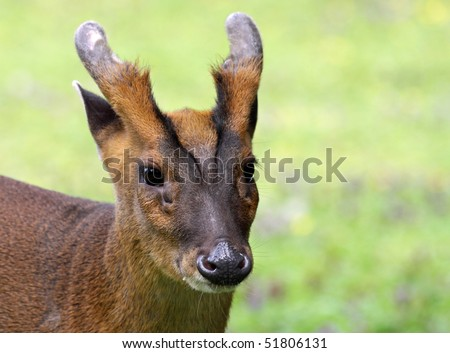 Portrait of a Chinese Muntjac