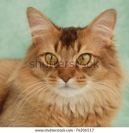 Portrait of a chocolate Somali female cat