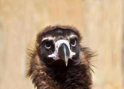 Portrait of a cinereous vulture (Aegypius monachus), also called black vulture, monk vulture, or Eurasian black vulture.