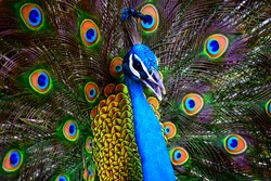 Portrait of a colorful dancing peacock . Peacock close up portrait. Peacock wallpaper and backgrounds.