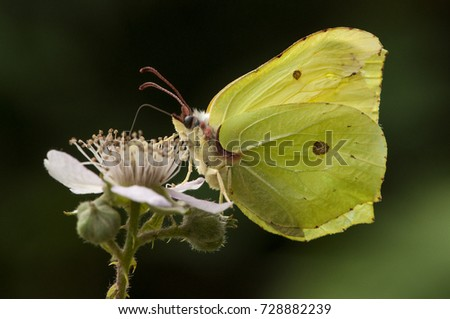 Portrait of a Common Brimstone (Gonepteryx rhamni) feeding on a pink flower