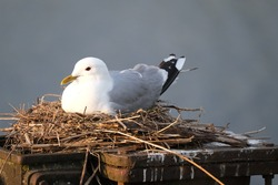 Portrait of a common gull, mew gull, sea mew (Larus canus) sitting  in the nest