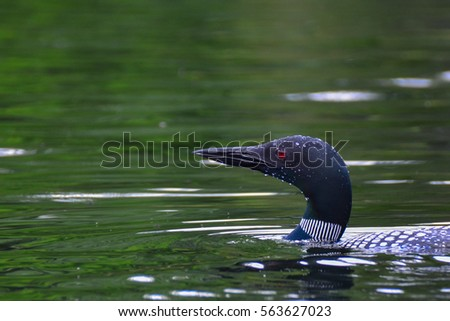portrait of a common loon...