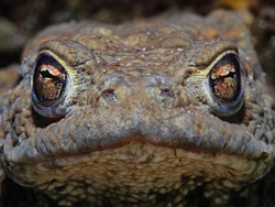 Portrait of a common male toad underwater