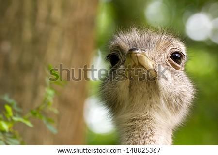Portrait of a common Rhea