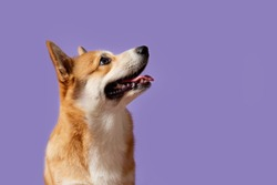 Portrait of a Corgi dog. Dog sits on a purple background and looks at the right. His mouth is open and his tongue is out. Ears stick out. Copy space