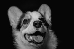 Portrait of a corgi dog. her nose is in focus ,the background is blurred. the photo is black and white. The dog's gaze is directed upward.