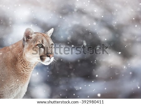 Portrait of a cougar in the snow, Winter scene in the woods, wildlife America