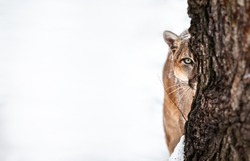 Portrait of a cougar, mountain lion, puma, cougar behind a tree. panther, striking a pose on a fallen tree, Winter scene in the woods