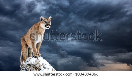 Portrait of a cougar, mountain lion, puma, panther, striking a pose on a fallen tree