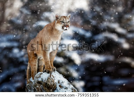 Portrait of a cougar, mountain lion, puma, panther, striking a pose on a fallen tree, Winter scene in the woods
