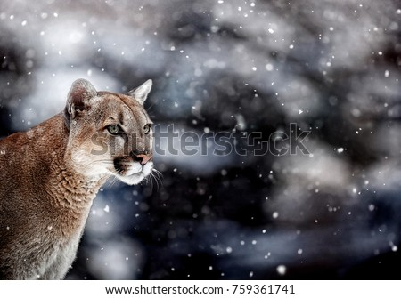 Portrait of a cougar, mountain lion, puma, panther, striking a pose, Winter scene in the woods,  wildlife America