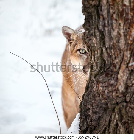Portrait of a cougar, mountain lion, puma, striking pose, Winter scene in the woods #359298791