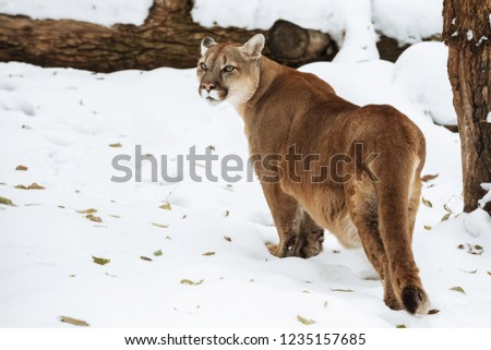 Portrait of a cougar, puma, panther,  Winter scene