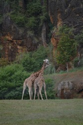 Portrait Of A Couple Of Giraffes Kissing With Their Collar Intertwined The Natural Park Of Cabarceno Old Mine For Iron Extraction. August 25, 2013. Cantabria. Holidays Nature  Animals Wildlife