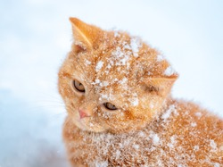 Portrait of a covered with snow cat. Cat walking in the snow in winter