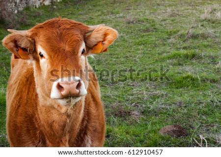 portrait of a cow #612910457