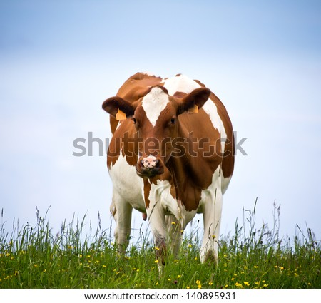 portrait of a cow in a meadow