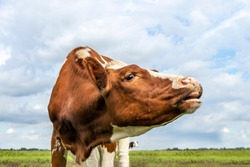Portrait of a cow, mooing red and white, pink noseand blue sky