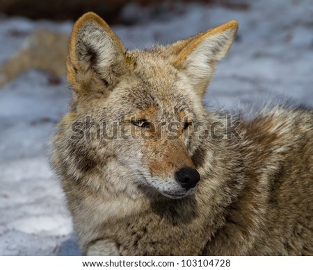 Portrait of a Coyote near Glacier point in Yosemite National Park - stock photo