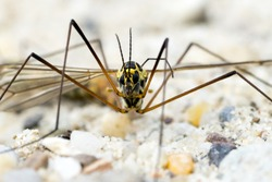 Portrait of a Crane Fly (Nephrotoma Spec.)