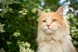 portrait of a cream colored maine coon cat in nature next to flowering tree in spring
