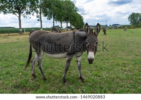 Portrait of a curious donkey. Gray cute donkey walks in a pen in the countryside. Donkey on the eco farm on green grass background looking at the camera.  Peaceful picture of farm grazing animals.