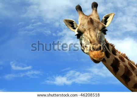 Portrait of a curious giraffe (Giraffa camelopardalis) over blue sky with white clouds in wildlife sanctuary near Toronto, Canada