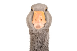 Portrait of a curious goose, closeup, isolated on white background