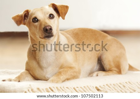 Portrait of a curious short haired dachshund dog