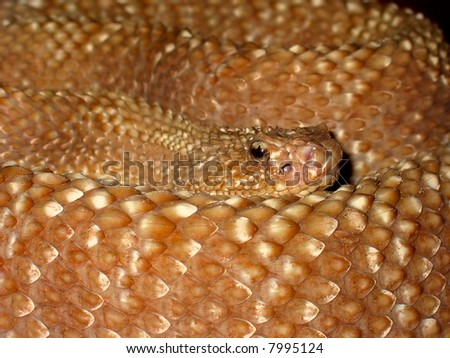 Portrait of a curled up adder (viper) snake