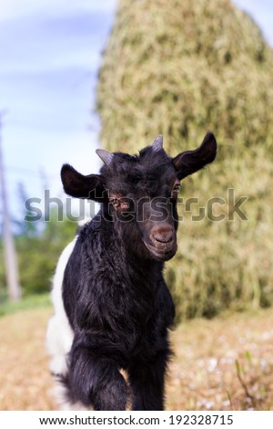 Portrait of a cute baby goat outside in the yard - stock photo