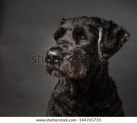 Portrait of a cute black dog, a Bouvier des Flandres on a gray background