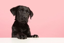 Portrait of a cute black labrador retriever puppy looking away on a pink background with space for copy