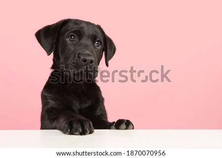 Portrait of a cute black labrador retriever puppy looking away on a pink background with space for copy Zdjęcia stock ©