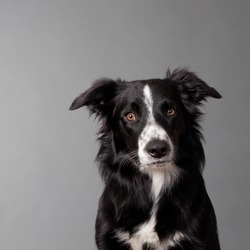 portrait of a cute bordercollie looking into the camera head and shoulder on grey background